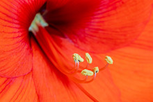Red Amaryllis With Yellow Stamen