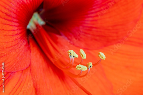Fotomural Red amaryllis with yellow stamen