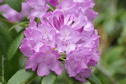 Tuinposter Azalea Pink Rhododendronblüte