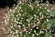 Pretty Erigeron Plant Growing ...
