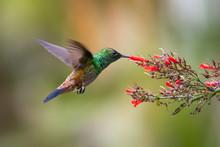 A Copper-rumped Hummingbird Feeding On A Red Antigua Heat Flower In A Tropical Garden.