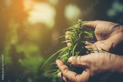 Fototapeta Hand of farmer holding cannabis at farm. obraz