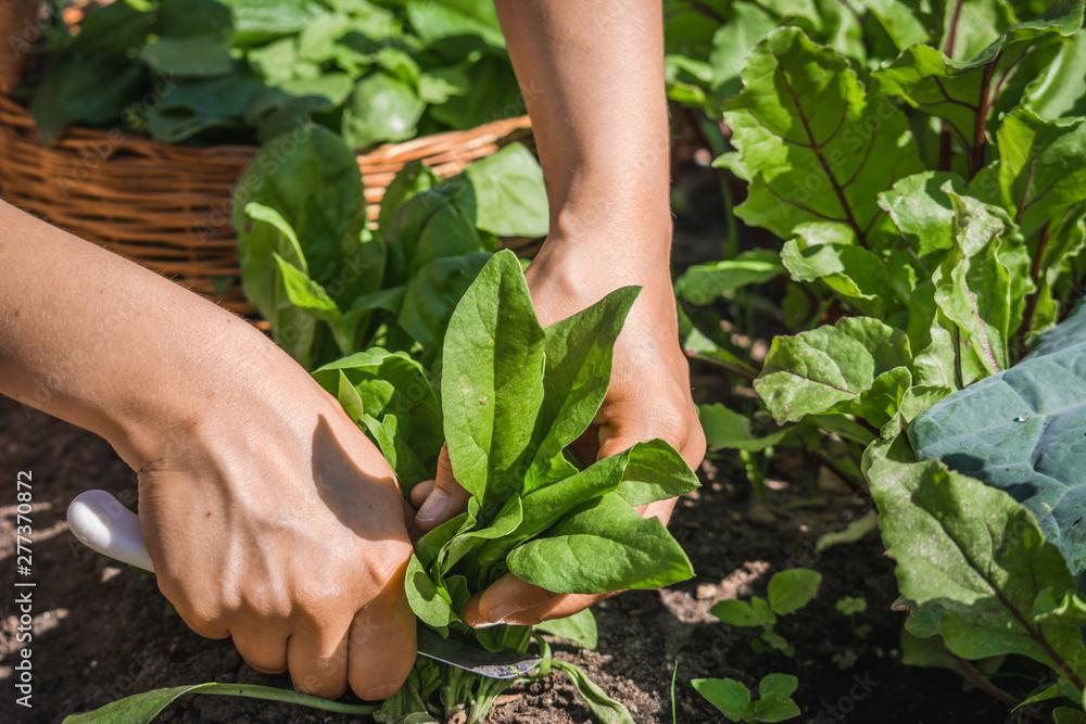 Fototapeta Farmer in the garden harvesting spinach, fresh farm vegetable, harvest in organic farm