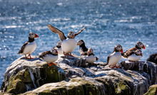 The Flock Of Atlantic Puffins Are Standing On A Cliff Under Sunlight With Blue Blurred Background.  Farne Islands, Northumberland England, North Sea. UK