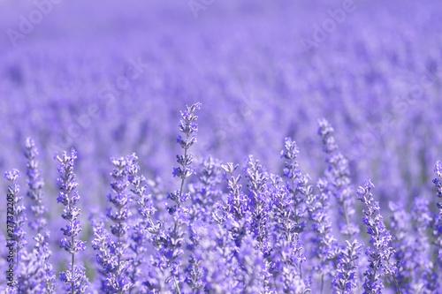 Foto op Plexiglas Weide, Moeras Purple blue lavender field flowers close up
