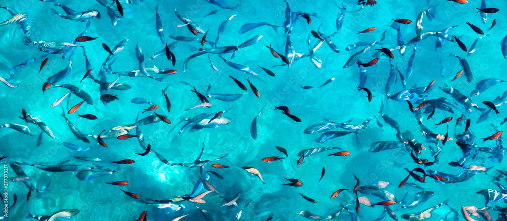 Fototapety, obrazy: Fishes under water as a panoramic background. Turquoise water with school of fish. Sea animals. Fish school - image