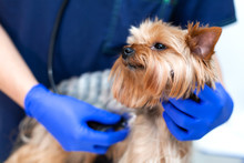 Professional Vet Doctor Examines A Small Dog Breed Yorkshire Terrier Using A Stethoscope. A Young Male Veterinarian Of Caucasian Appearance Works In A Veterinary Clinic. Dog On Examination At The Vet