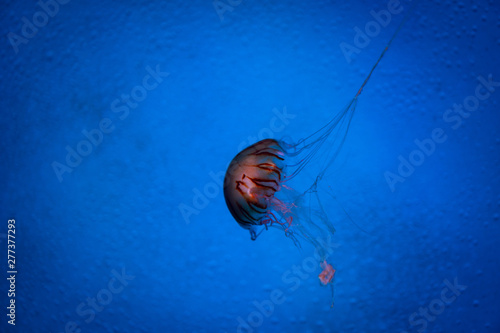 Valokuvatapetti jellyfish in blue water, sea life