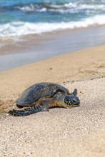 Arge Green See Turtle Coming O...
