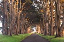 Stunning Cypress Tree Tunnel At Point Reyes National Seashore, California, United States. Fairytale Trees In The Beautiful Day Near San Francisco, USA