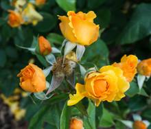 Orange Roses Cluster
