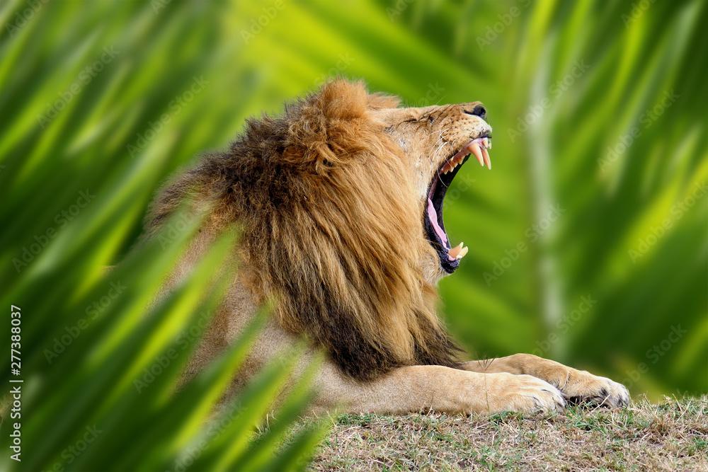 Fototapety, obrazy: Lion portrait in jungle