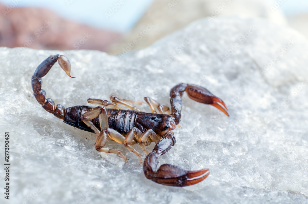 Fototapety, obrazy: Scorpion sitting on a stone close up
