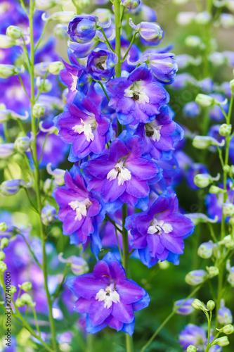 Vászonkép lilac delphinium flower close up in the garden on a green background