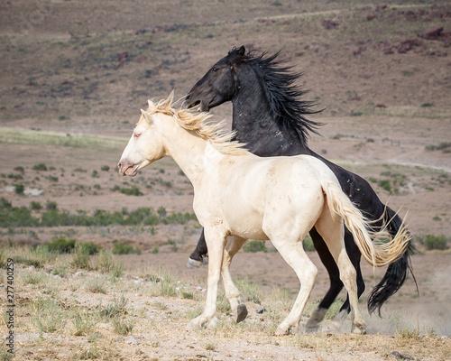 Fototapety, obrazy: Wild Horses in the West Desert of Utah
