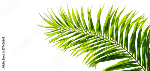 Tropical green leaves of palm tree isolated on white background.File contains with clipping path So easy to work.