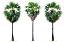 Three Tropical Sugar Palm Tree...