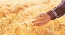 Farmer Man Checks The Maturity...
