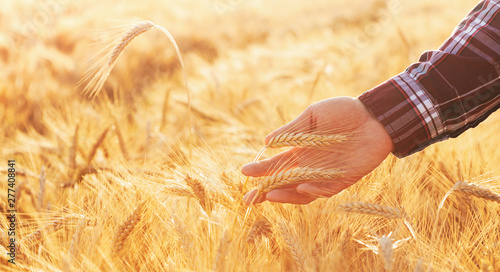 Fototapeta Farmer man checks the maturity of rye ears in the field at sunset. Beautiful nature landscape of agriculture lifestyle scene. obraz