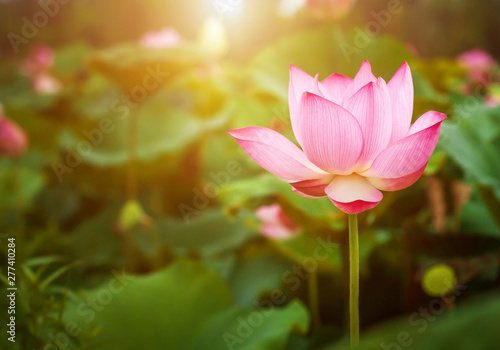 Cadres-photo bureau Fleur de lotus Beautiful lotus flower blooming and green lotus leaf background in pond. Blank copy space.