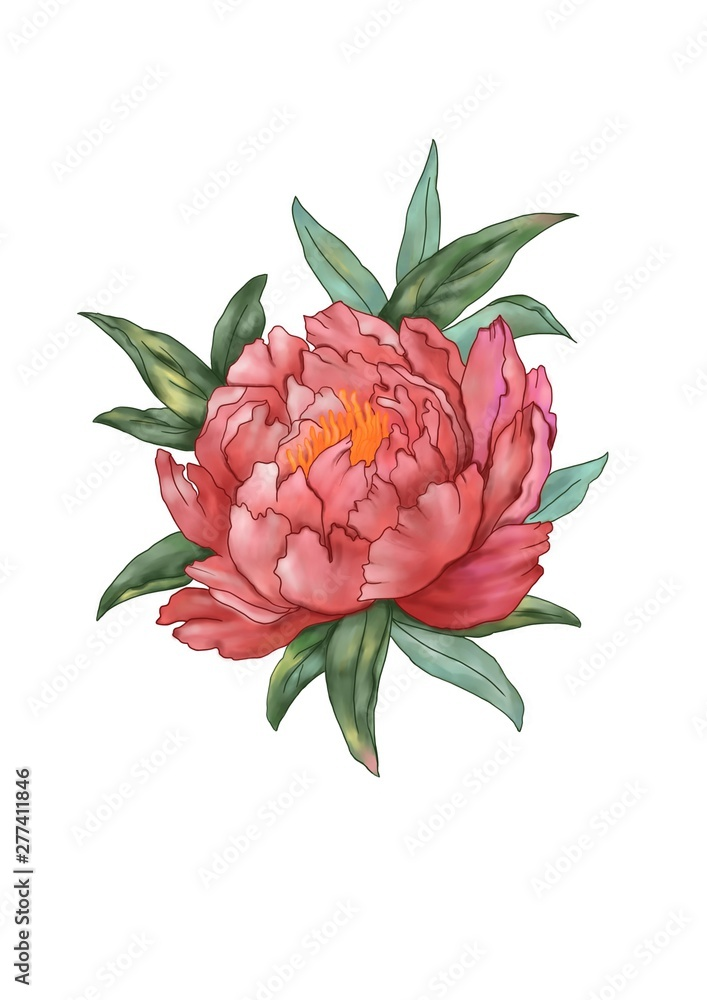 Single light red Peony flower with dark green leaves, isolate with background image.