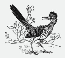 Lesser Roadrunner, Geococcyx Velox Standing In Front Of Cactus Plants And Looking Backwards. Illustration After An Antique Engraving From The Early 20th Century