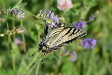 Butterfly Eastern Tiger Swallo...