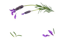 French Lavender Flowers, Petals And Leaves Isolated On White Background With Copy Space In Middle