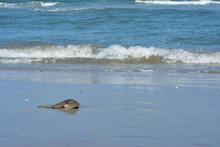 Horseshoe Crab On A Sandy Beach