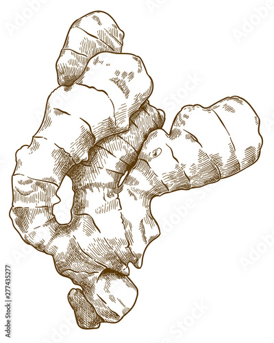 Foto engraving illustration of ginger root