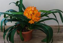 Blossoming Branch Of Orange Fl...