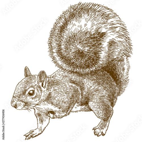 Fotografía  engraving illustration of eastern gray squirrel