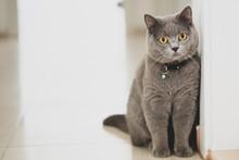 British Shorthair Cat On White