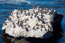 Large Rock With Many Pelicans,...