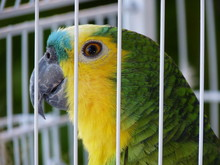True Parrot In Cage