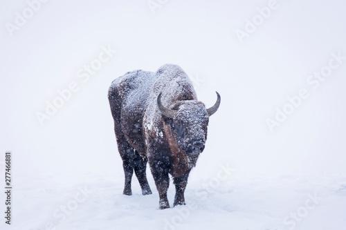 Valokuvatapetti Bison or Aurochs in winter season in there habitat