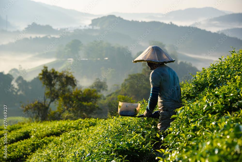 Fototapeta Worker collecting tea leafs at tea plantation during sunrise in Cameron Highlands, Malaysia