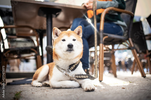 Shiba Inu in the city at the coffehoouse with his owner Canvas Print