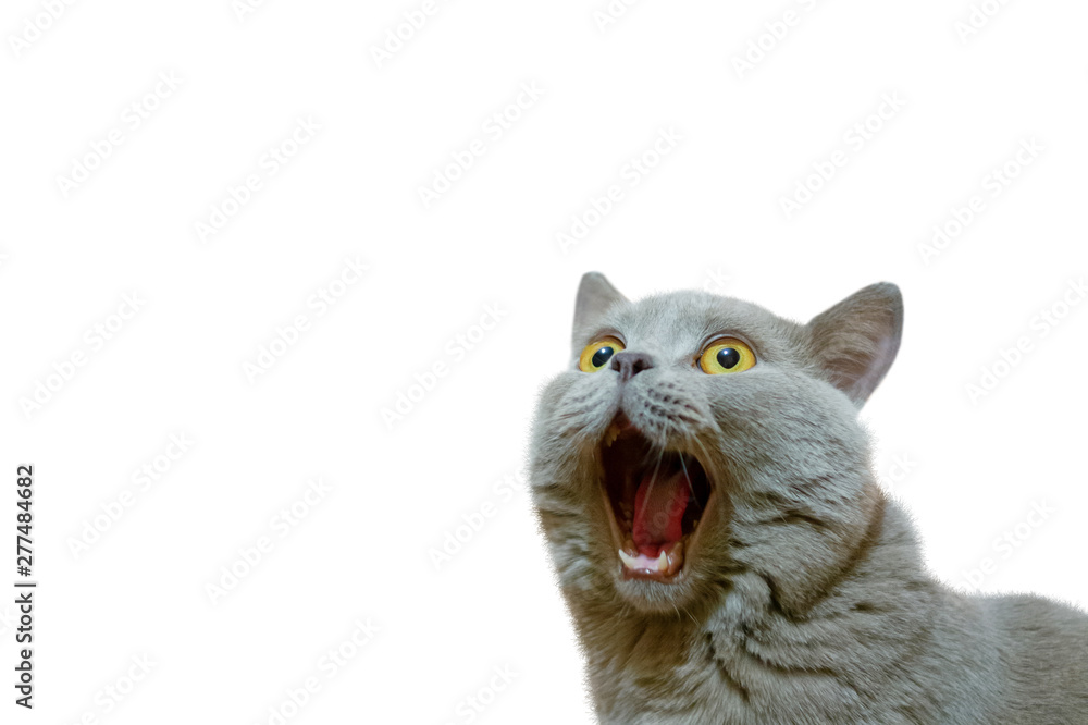 Fototapety, obrazy: A lilac British cat looking up. The cat opened his mouth with a mad look. The concept of an animal that is surprised or amazed. The figure of a cat on an isolated background of white color.