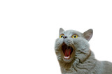 Fototapeta Zwierzęta - A lilac British cat looking up. The cat opened his mouth with a mad look. The concept of an animal that is surprised or amazed. The figure of a cat on an isolated background of white color.