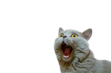 Britanska mačka lila koja gleda gore. Mačka je otvorila usta luđačkim pogledom. Koncept životinje koja je iznenađena ili zadivljena. Lik mačke na izoliranoj pozadini bijele boje.