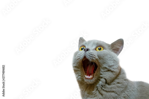 Keuken foto achterwand Kat A lilac British cat looking up. The cat opened his mouth with a mad look. The concept of an animal that is surprised or amazed. The figure of a cat on an isolated background of white color.