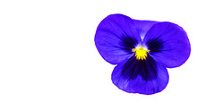 Beautifull Purple Violet Pansy Flower Isolated On White Background