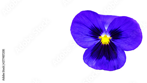 Wall Murals Pansies beautifull purple violet pansy flower isolated on white background