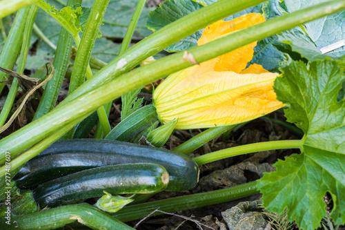 zucchini growing in the garden