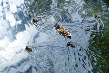 Duck With Ducklings In A Blue Pond. Soft Focus.