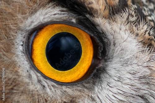 Fotomural  Eagle owl eye close-up, eye of the Eurasian Eagle Owl, bubo bubo