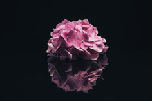 Beautiful Purple  Hydrangea Flower On A Glass Black Background.