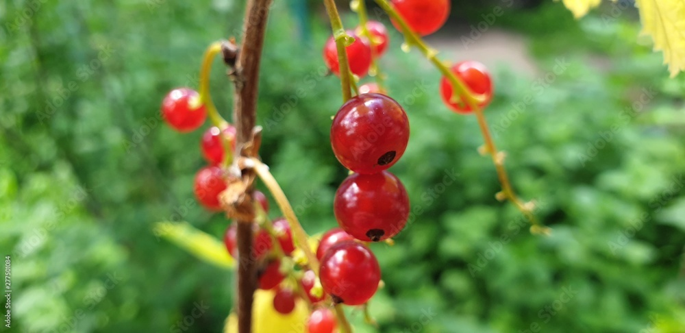 Fototapety, obrazy: Red currant berries. Bush red currant in the close-up