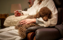 A Miniature Poodle Lying Down ...